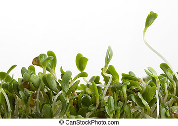 alfalfa sprouts on white - macro of alfalfa sprouts on white...