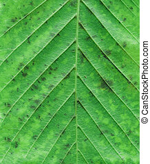 Macro of autumn green tree leaf. Natural product concept
