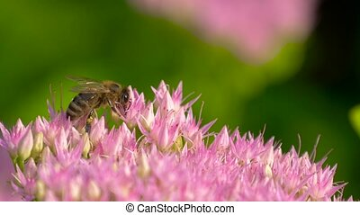 Macro of bee gathering pollen from Milkweed in field. Sweet...