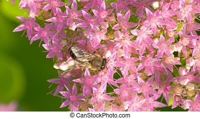 Macro of bee gathering pollen. Top view. - Bee collects...
