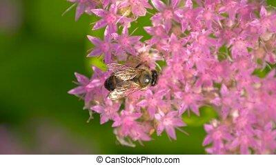 Macro of bee gathering pollen. Top view. - Winged bee...