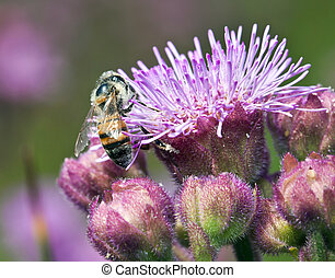 Macro of bee on purple flower detail lilac pollen