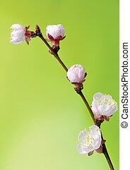Macro of blooming fruit tree brunch
