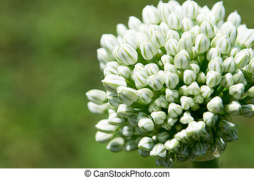Macro of blooming onion flower head