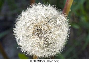 Macro of blowball flower
