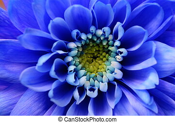 Macro of blue aster flower - Close up of blue aster flower ...