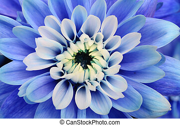 Macro of blue flower aster - Close up of blue petals, ...