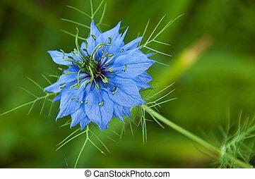 Macro of blue vivid flower