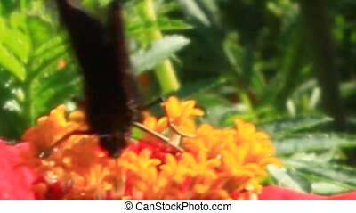 macro of butterfly collecting nectar on the marigolds -...