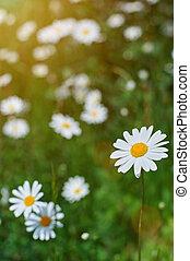macro of camomile flower