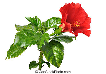 Chinese roses diagram download wiring diagrams china rose stock photo images 2 873 china rose royalty free images rh canstockphoto com china rose labelled diagram china rose labelled diagram ccuart Image collections
