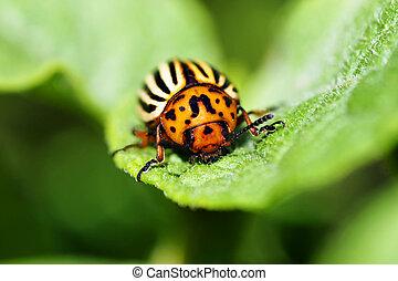 Macro of Colorado potato beetle on leaf - Cute but damaging ...