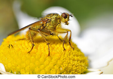 Macro of common yellow dung fly on