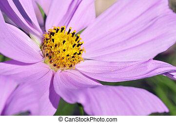 Macro of cosmos flower