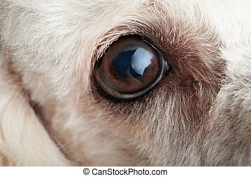 Macro of dog eye with infection