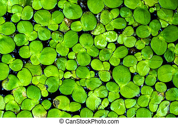Macro of duckweed