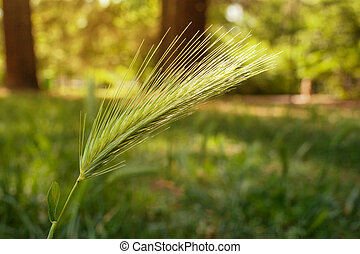 Macro of ear of green wheat in the park.