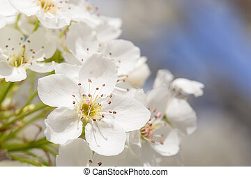 Macro of Early Spring Tree Blossoms with Narrow Depth of Field.