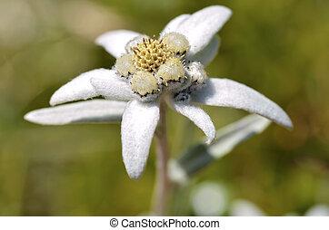 Macro of edelweiss flower (Leontopodium alpinum) in the French Alps at La Plagne, Savoie department.