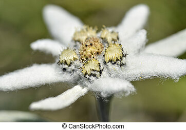 Macro of edelweiss flower