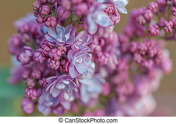 Macro of flowers. Abstract gradient blur texture with lilac or syringa. Colorful blurred backdrop. Nature blurry background.