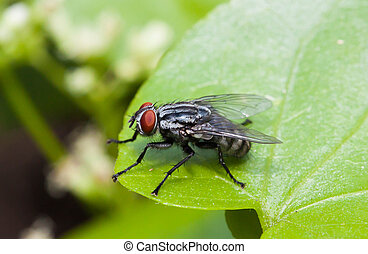 Macro of fly or Live house fly on green leaf