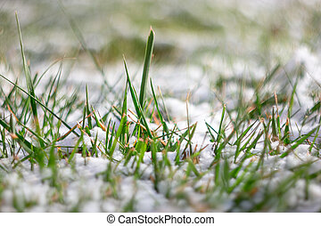 Macro of fresh green grass covered with snow. Frost in march or april. Shallow DOF, selective focus, pretty bokeh.