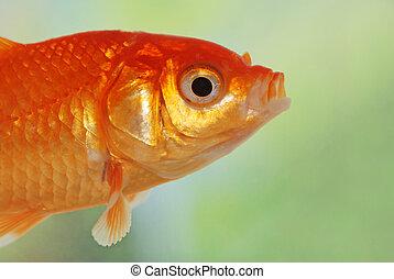 macro of gold fish