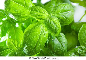 macro of green fresh basil leaves in a flower pot