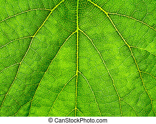 Macro of green grape leaf.