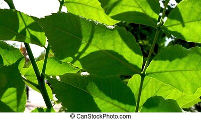 Macro of green leaves with moving cars on background. Sun light through leaves half transparent nature backdrop