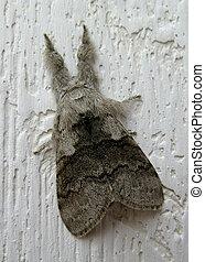 Grey moth on white wood