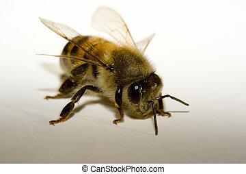 Honey Bee - Macro of Honey Bee on a white-gray background