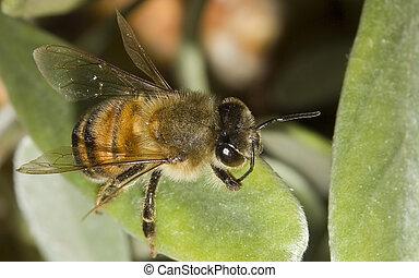 Honey Bee - Macro of Honey Bee