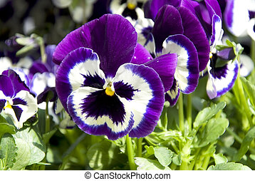 lilac pansies - macro of lilac pansies in a row