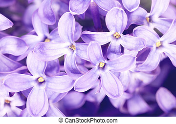 Lilac -  Macro of Lilac