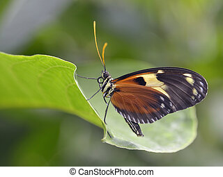 Nymphalidae butterfly on leaf