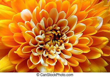Macro of orange aster flower - Close up of orange flower : ...