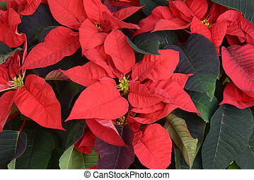 macro of poinsettia plant