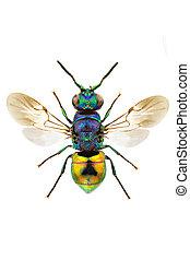 Pseudomalus auratus - Macro of Pseudomalus auratus isolated...