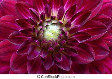 Macro of purple flower aster - Close up of purple flower ...