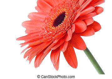 Macro of red daisy-gerbera head isolated on white