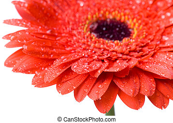 Macro of red daisy-gerbera head with water drops isolated on white
