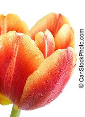 macro of red tulip