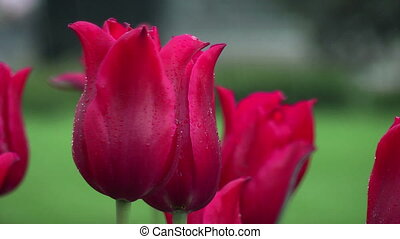 Macro of red tulips
