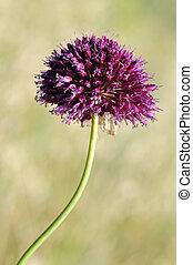 Macro of Round-headed leek flower
