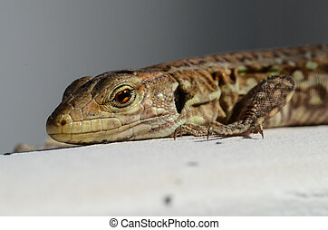 Macro of Small Lizard