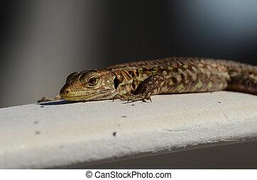 Macro of Small Lizard