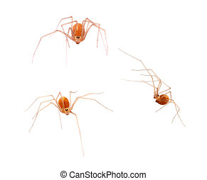 Macro of small orange colour arachnid, Spermophora senoculata the shortbodied cellar spider. Pholcidae.