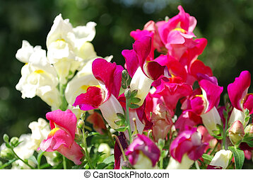 snapdragon - macro of snapdragon flowers swith shallow...